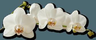3 Orchide